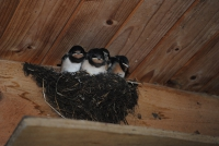 Young swallows (Photo: Renny)